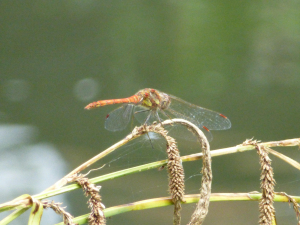 Male Common Darter (Sympetrum striolatum)
