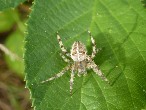 Garden Cross Spider (Araneus diadematus)