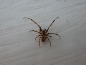 Male Winter Spider (Zygiella x-notata)