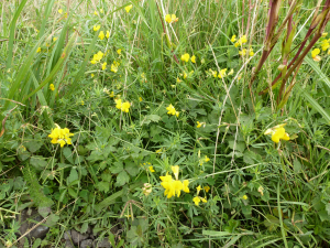 Narrow-Leaved Bird's-Foot-Trefoil (Lotus tenuis)
