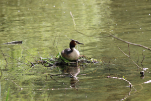 Great-Crested Grebe (Podiceps cristatus)