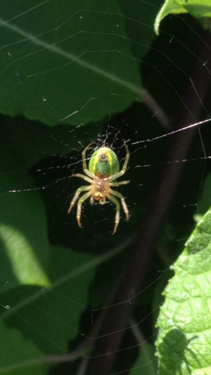 Green spider species?