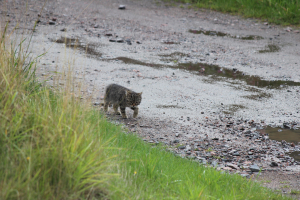Scottish wildcat or just a moggy??