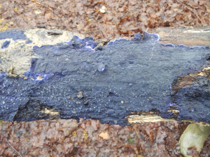 purple fungal growth on dead wood