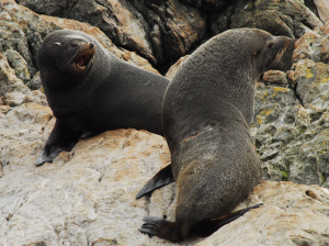 South American Fur Seals (Falkands)