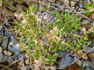 Clubmoss Cudweed (Chevreulia lycopodioides)