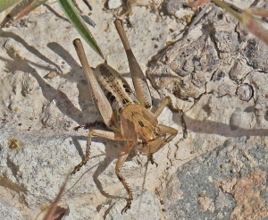 Orthoptera Cyprus