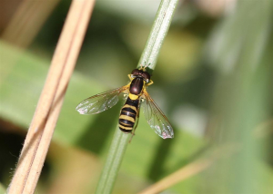 Hoverfly 3.8.13 0397 (Large)