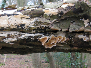 Leaf-like fungi on dead branch