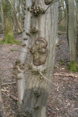 Concentric growths on Hornbeam bark