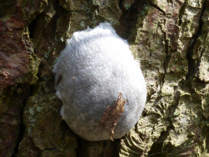 Silvery blob - Slime mould?