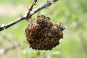 Gall on Dog Rose