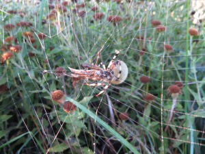 Crane Fly meets Spider