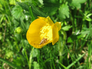 In buttercup flower