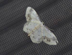 Grey and white moth