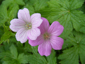 Is this a Dovesfoot Cranesbill?
