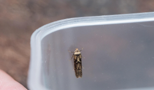 Unknown Micro moth