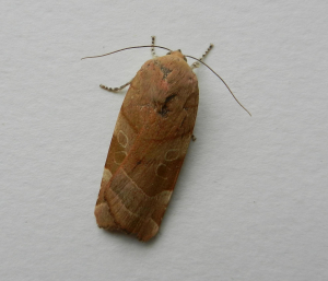 Large Yellow Underwing Female