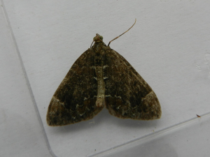 Common Marbled Carpet?