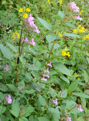 Himalayan Balsam - a handsome bully!