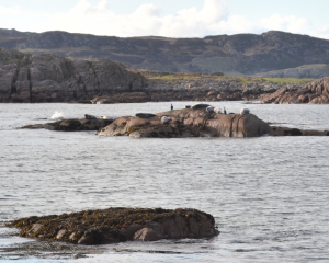 Grey Seals on Mull