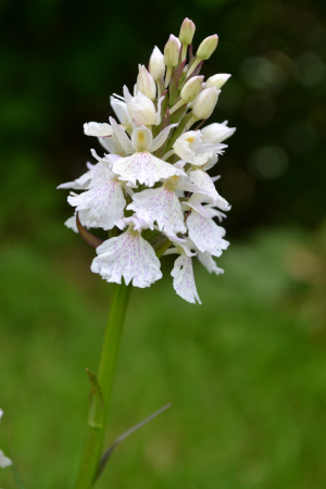Heath Spotted -orchid