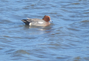 Wigeon, male