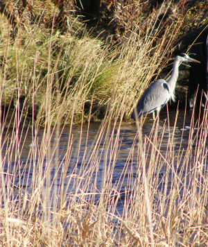 Grey Heron in River Nith, Kirkconnel