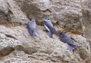 Sand Martins learning to fly.