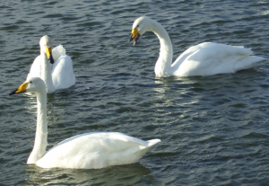 Whooper Swans at Caerlaverock