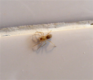 Spider (5mm body) indoors.