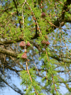 Larch in flower