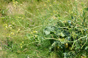Some kind of wild cabbage (Brassica) by the sea.