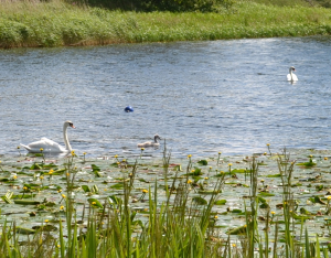 Mute Swans with their one remaining cygnet.