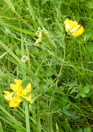 Meadow Vetchling