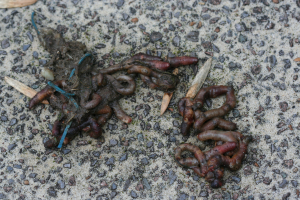 Dead earthworms