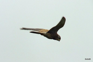 Kestrel hovering just before it dived to take a rodent