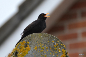 Singing male Blackbird