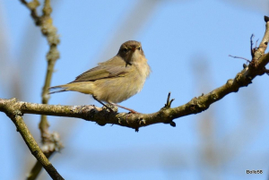 Another Chiffchaff