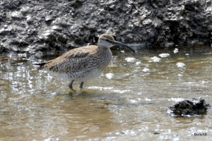 Whimbrel - group of 40+ feeding on muddy river estuary at low tide
