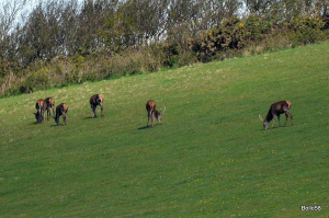 Small group of Red Deer feeding on farmland alongside ancient woodland