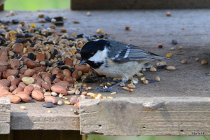 Coal Tits on feeders alongside hide at National Trust site