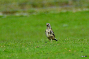 Mistle Thrush looking for worms or grubs in field littered with sheep droppings