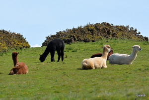 Local farmer's small Alpaca herd