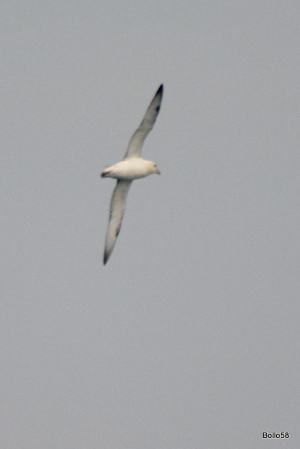 Seabird offshore near Lundy Island - not sure if this is a gull or possibly a shearwater