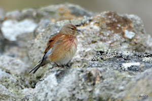 Male Linnet on dry-stone wall on Lundy