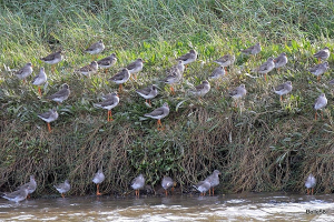 Part of a flock of roosting Redshank (150+)
