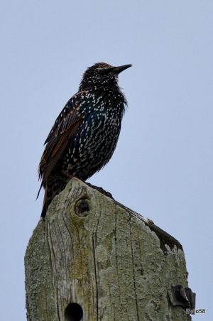 Starling - adult in winter plumage