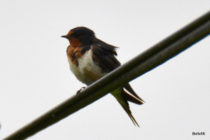 Barn Swallow - just one of several hundred lining telegraph lines at start of their migration