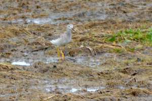 Another migrant Lesser Yellowlegs